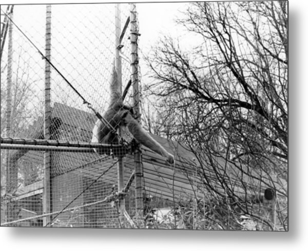 Monkey Grab  Metal Print