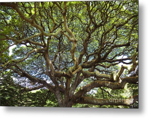 Monkey Pod Branches Metal Print
