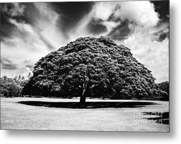 Monkey Pod Tree In Black And White Metal Print