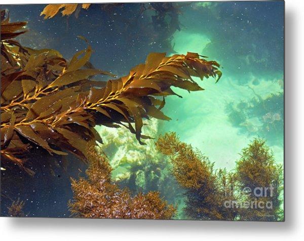 Monterey Bay Seaweed Metal Print