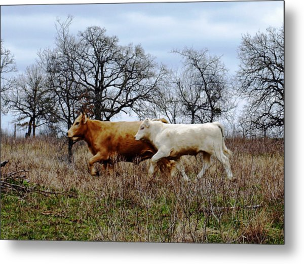 Moo On The Run Metal Print by James Granberry