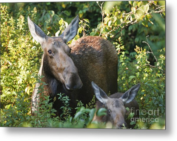 Moose - White Mountains New Hampshire  Metal Print