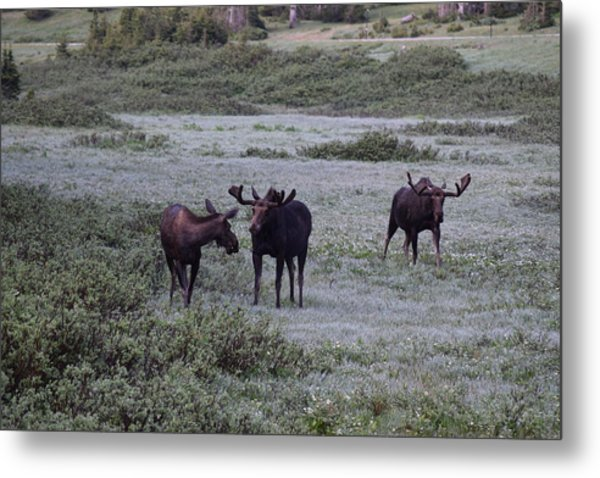 Moose Cameron Pass Co Metal Print