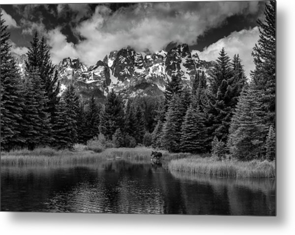 Moose At Schwabacher's Landing Metal Print