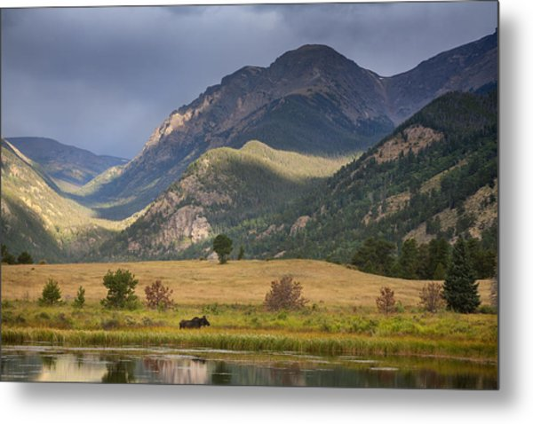 Moose At Sheep's Lakes Metal Print