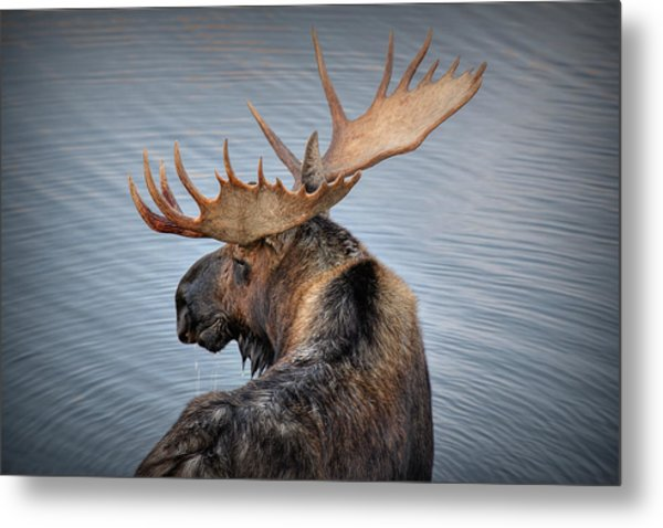 Moose Drool Metal Print