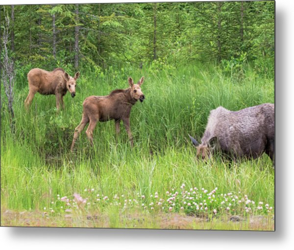 Moose Family Metal Print