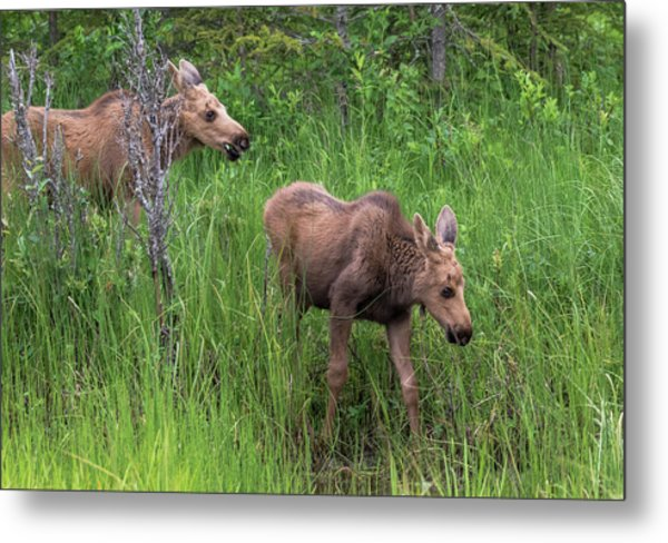 Moose In The Field Metal Print