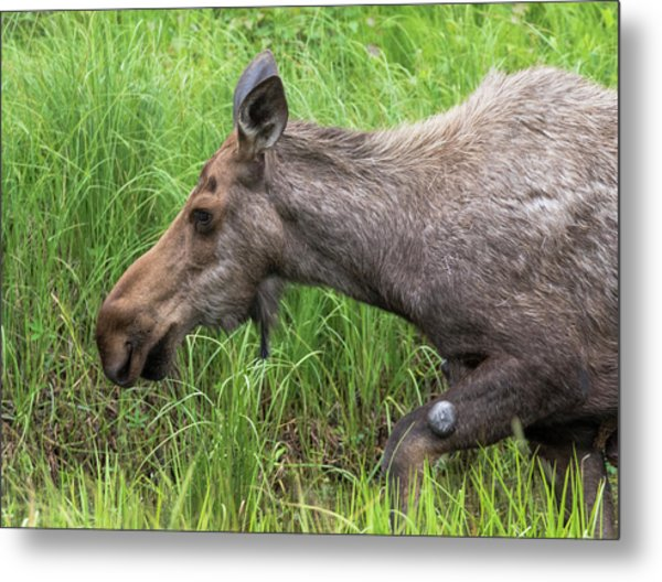 Moose In The Pond Metal Print