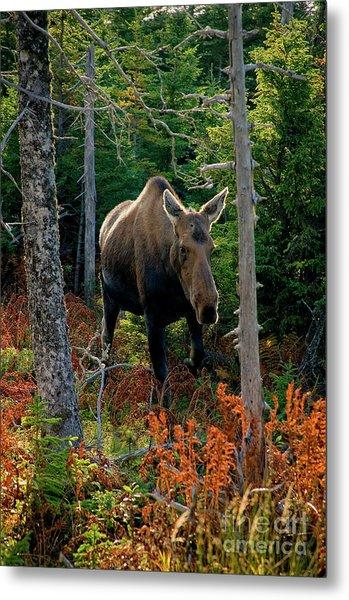 Moose In The Wild Metal Print by Scott Kemper