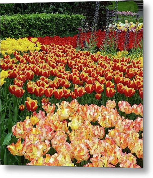 More #tulip Goodness From #keukenhof Metal Print by Dante Harker
