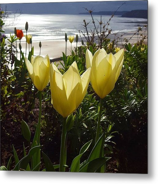 More Tulips At The #seaside Metal Print by Dante Harker