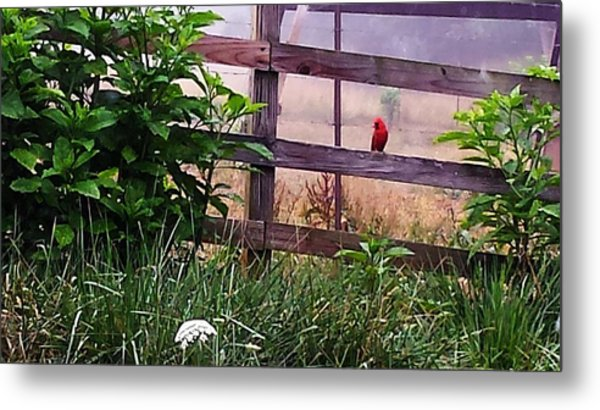 Metal Print featuring the photograph Morning Cardinal by Deb Martin-Webster