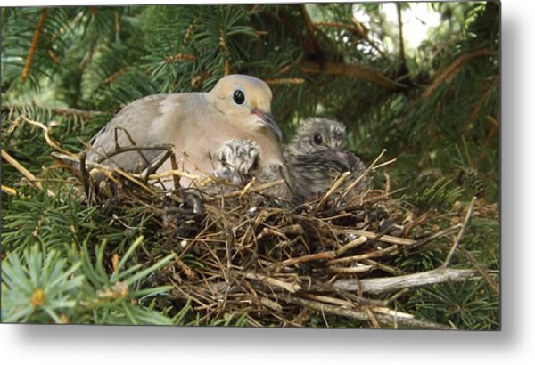 Morning Dove And Two Babys #2 Metal Print
