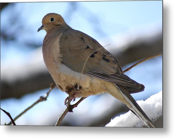 Morning Dove Metal Print by Patricia M Shanahan