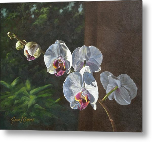 Morning Phaleanopsis Metal Print