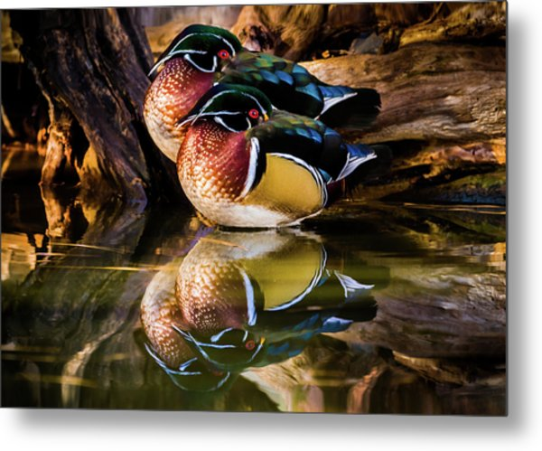 Morning Reflections - Wood Ducks Metal Print