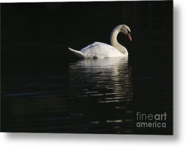 Morning Swan Metal Print