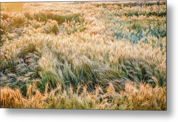 Morning Wheat Metal Print