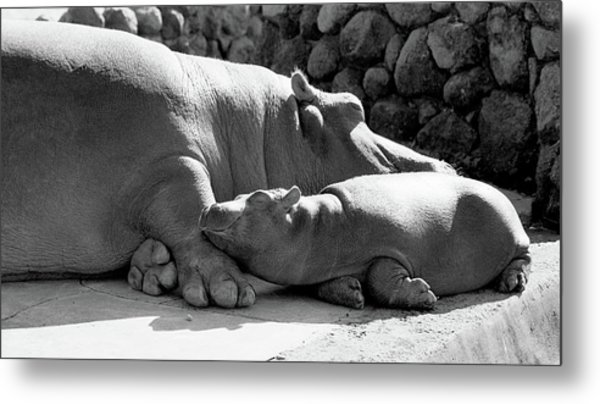 Mother And Baby Hippos Metal Print