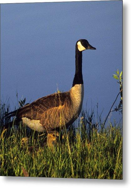 Mother Goose Metal Print by Bruce Gilbert