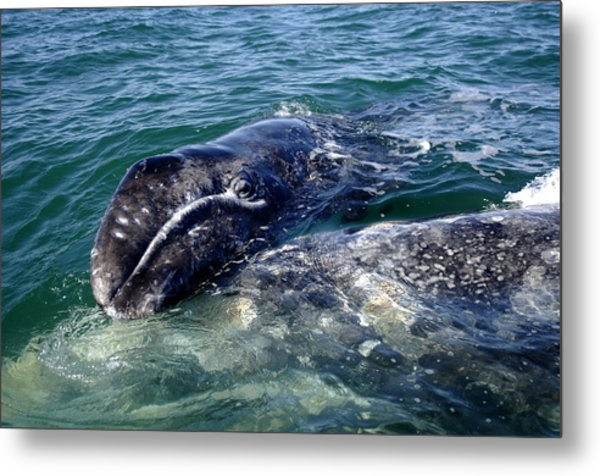 Mother Grey Whale And Baby Calf Metal Print