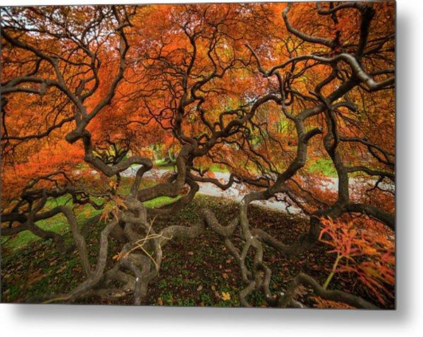 Mount Auburn Cemetery Beautiful Japanese Maple Tree Orange Autumn Colors Branches Metal Print