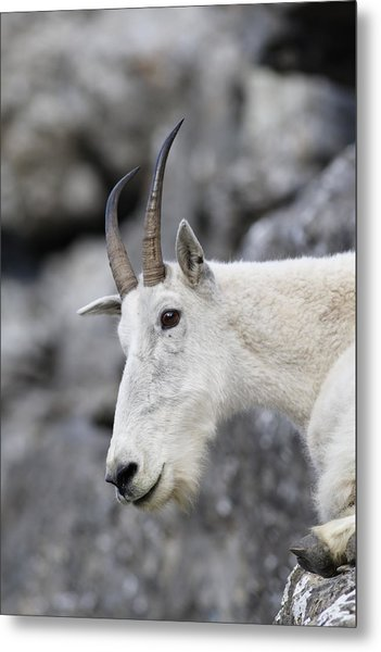 Mountain Goat At Rest Metal Print by Michael Bowland