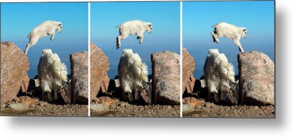 Mountain Goat Leap-frog Triptych Metal Print