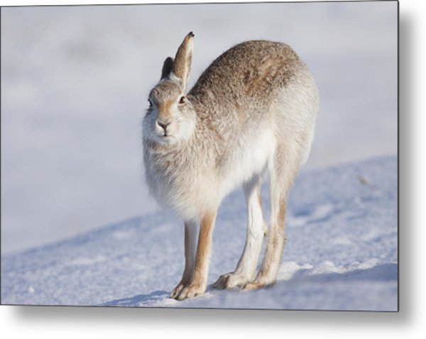 Mountain Hare In The Snow - Lepus Timidus  #2 Metal Print