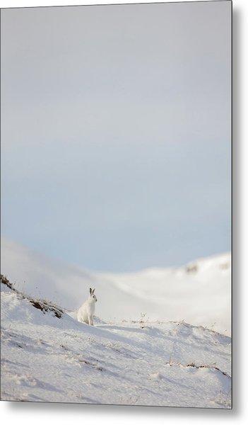 Mountain Hare On Hillside Metal Print