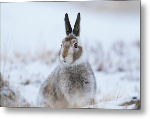 Mountain Hare - Scotland Metal Print