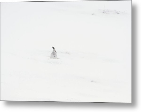 Mountain Hare Small In Frame Left Metal Print