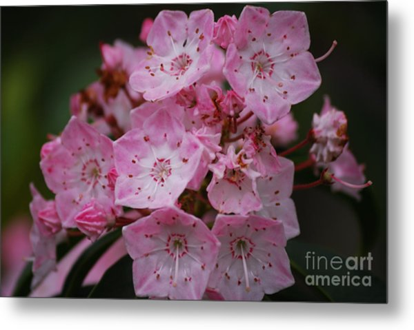 Mountain Laurel Bloom Metal Print