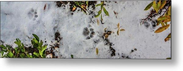 Mountain Lion Tracks In Snow Metal Print