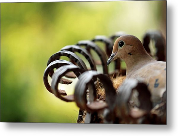Mourning Dove In A Flower Planter Metal Print