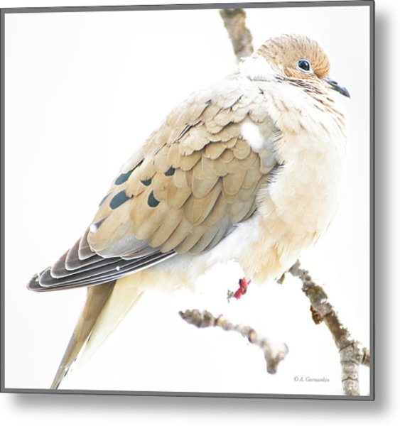 Mourning Dove, Snowy Morning Metal Print