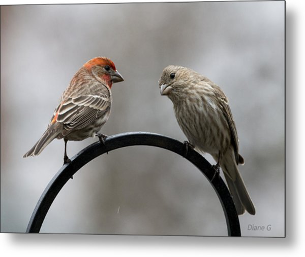 Mr. And Mrs. House Finch Metal Print