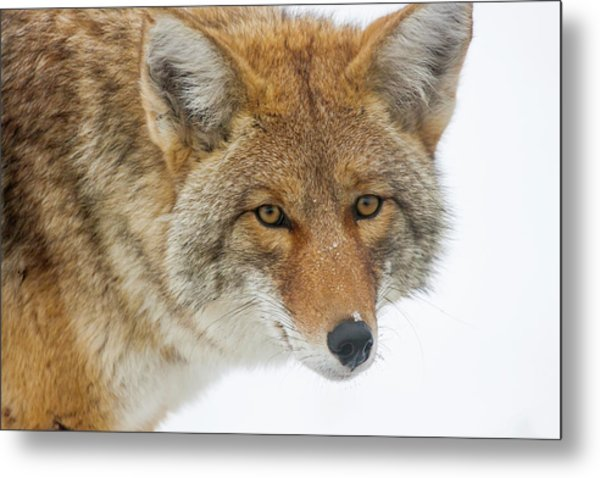 Mr. Coyote Metal Print