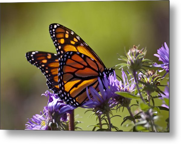 Ms. Monarch Metal Print by Ross Powell