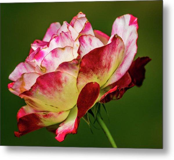 Multi-colored Rose Metal Print