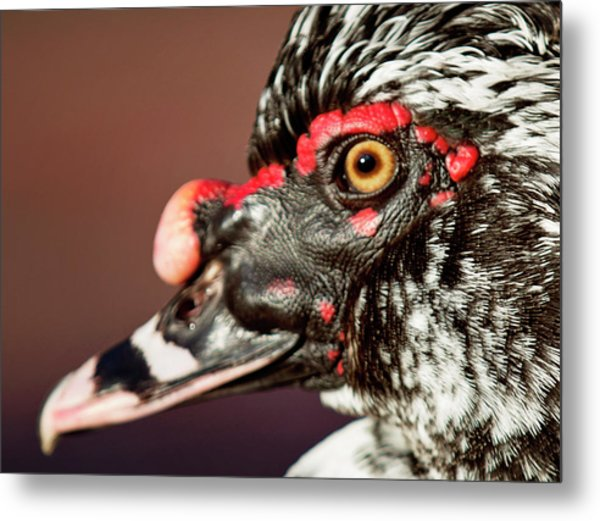 Metal Print featuring the photograph Muscovy by Sue Collura