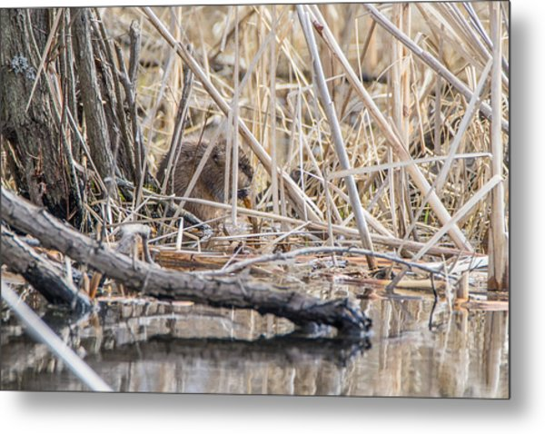 Muskrat Eating A Fish Metal Print