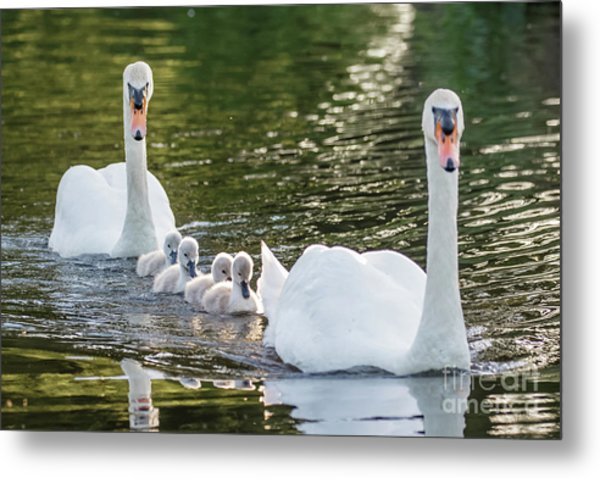 Mute Swan - Cygnus Olor -  Adult And Cute Fluffy Baby Cygnets, Swim Metal Print