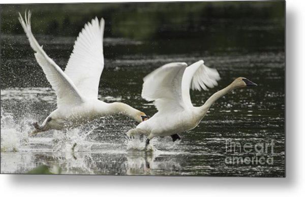Mute Swan Intimidation Metal Print