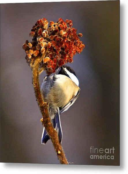 My Little Chickadee Metal Print by Robert Pearson