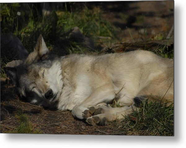 Nap Time Metal Print by Curtis Gibson