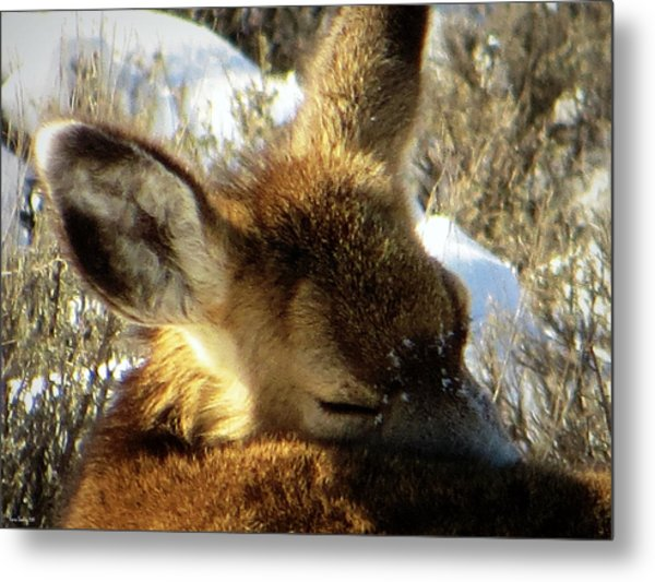 Napping Fawn Metal Print
