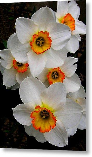 Narcissus Tazetta Metal Print