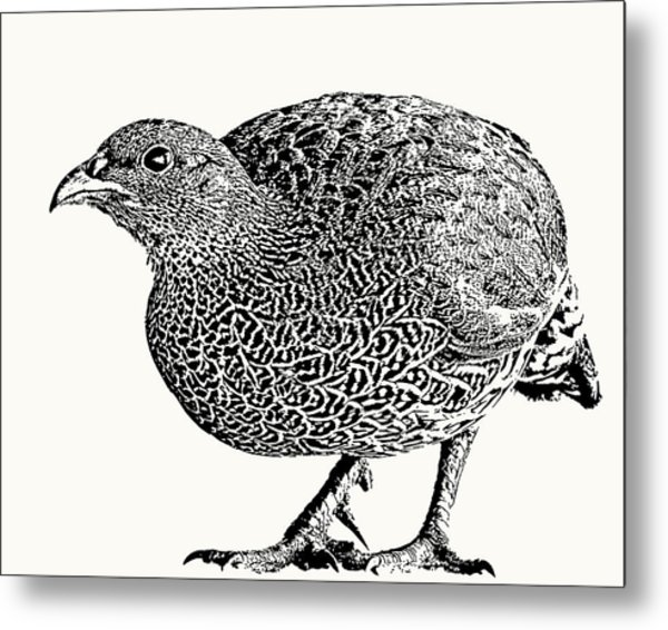 Natal Spurfowl Full Figure Metal Print